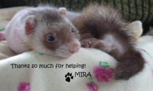 Mira Thank You Ferret Association of Connecticut