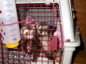 Two ferrets in pet taxi Ferret Association of Connecticut