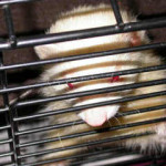 Ferret in temporary cage Ferret Association of Connecticut