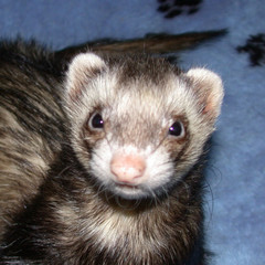 Sable Ferret - Ferret Association of Connecticut