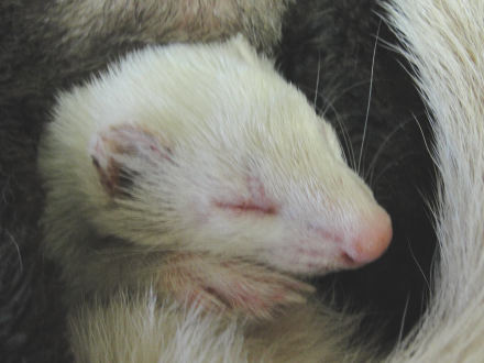Canine Distemper Ferret - Ferret Association of Connecticut