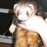 Ohio Ferret Rescue - Unneutered Hob - Ferret Association of Connecticut