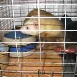 Ohio Ferret Rescue - Quarantine 1 - Ferret Association of Connecticut