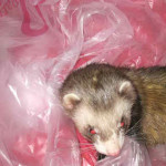 Ohio Ferret Rescue - Discovering The World - Ferret Association of Connecticut