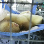 Ohio Ferret Rescue - Sleepy Ferrets - Ferret Association of Connecticut