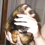 Ohio Ferret Rescue - Sable Jill Tense - Ferret Association of Connecticut