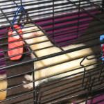 Ohio Ferret Rescue - Discovering Toys - Ferret Association of Connecticut