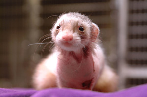 Mira Ferret - Ferret Association of Connecticut