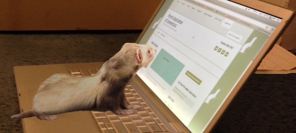 Ferret At Laptop - Ferret Association of Connecticut