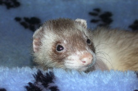 Mira - Ferret Association of Connecticut