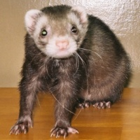 Gizmo Foster Program Ferret Assn of CT sz 200 by 200