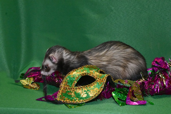 Ferret with Mardi Gras Props